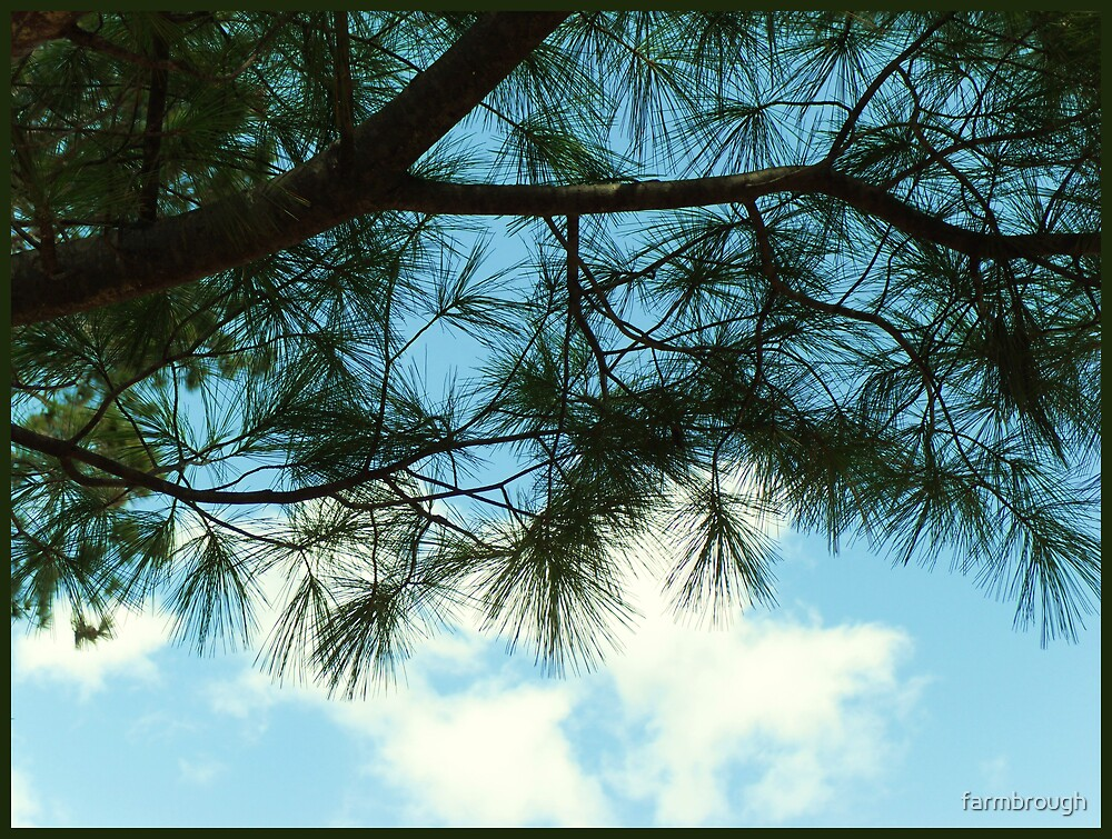 Pine Trees In Nepco Lake Park by farmbrough