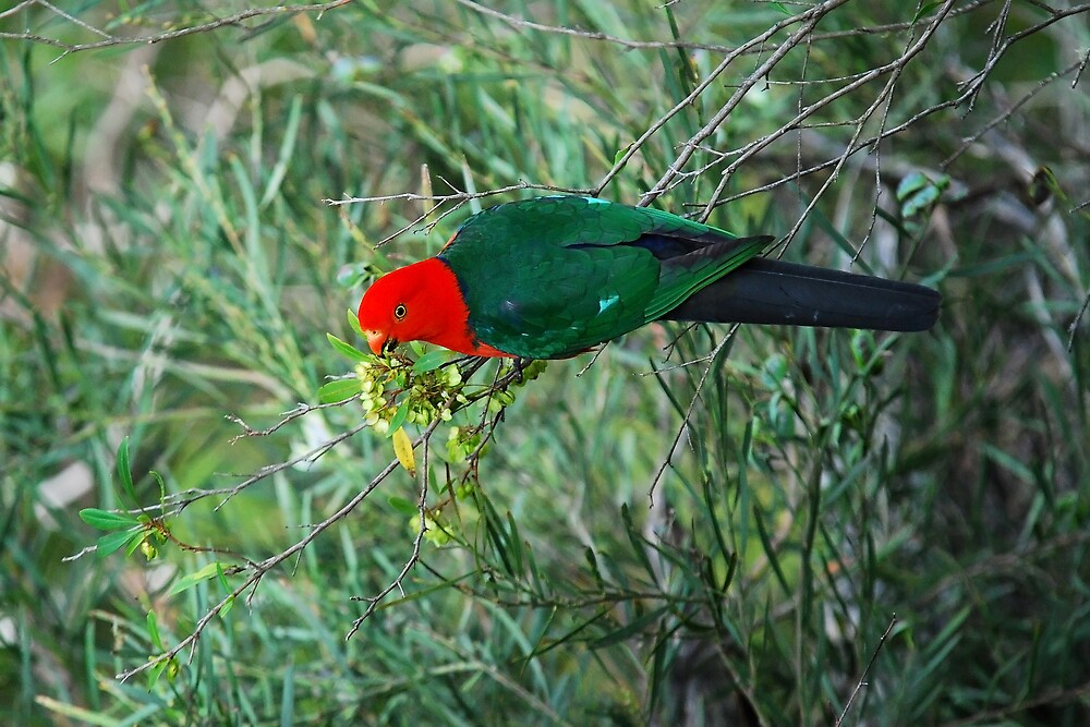 King Parrot by Daniel Mitchell
