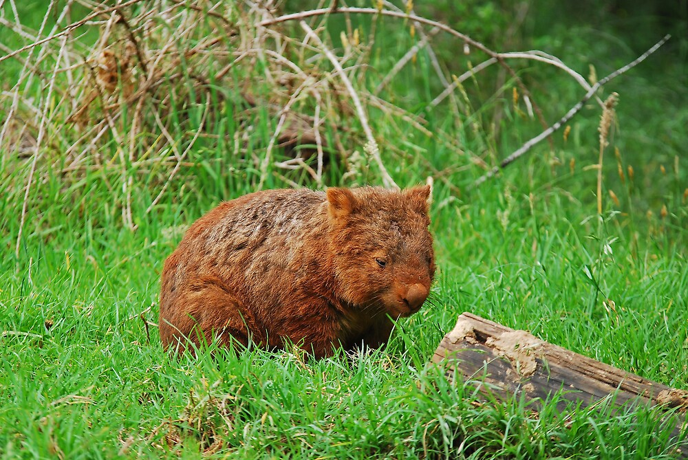 Wombat by Daniel Mitchell
