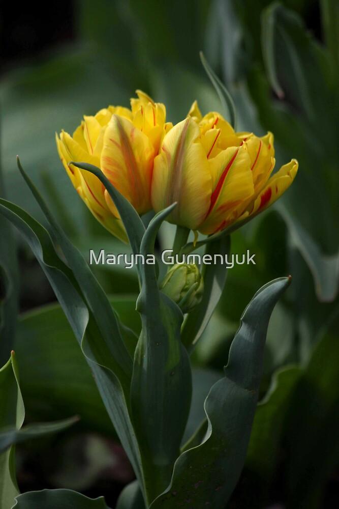 Tulips by Maryna Gumenyuk