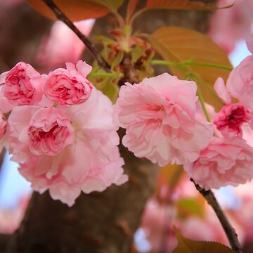 Kwanzan Flowering CherryTree by RoseC