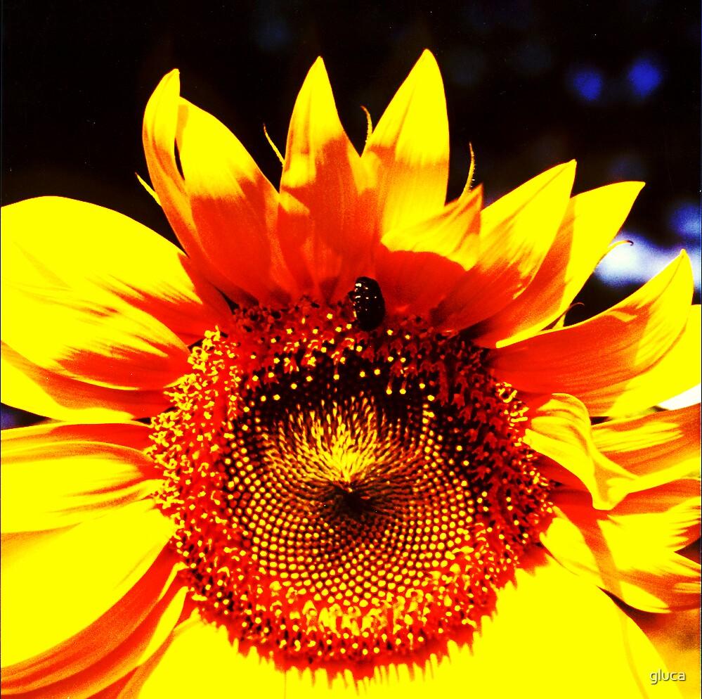 Sunflower by gluca