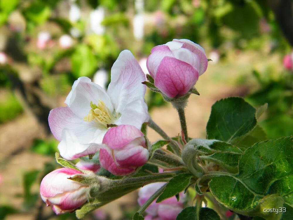 Apple flowers by costy33