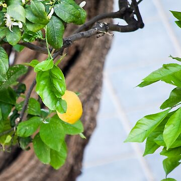 Italian Lemon Tree by umeimages