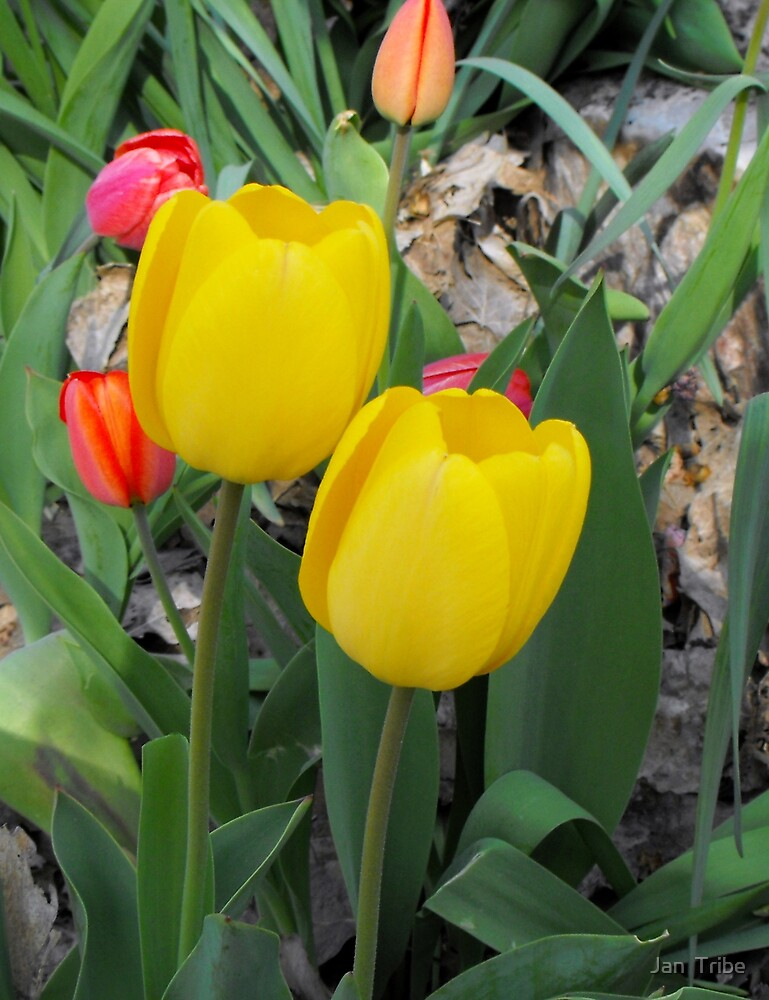 Two - Yellow Tulips by Jan  Tribe