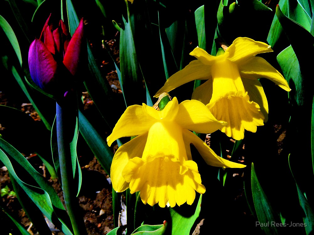 Tulip and Two Daffodils. by Paul Rees-Jones