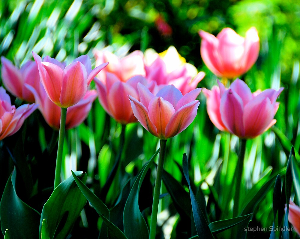 Pink Tulips by stephen Spindler