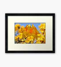 Yellow Rhododendron Flowers. Spring Pruhonice Park Framed Print