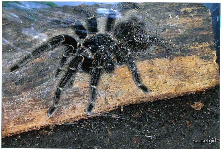 Tarantula Spider! by sunsetgirl
