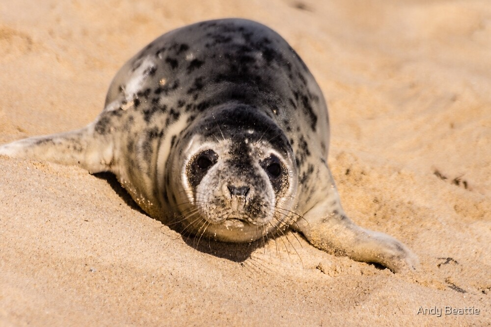 Grey Seal by Andy Beattie