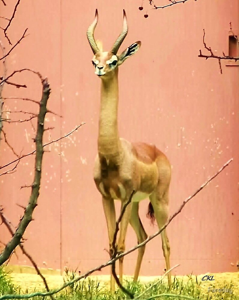 Male Gerenbok-- by Fareday