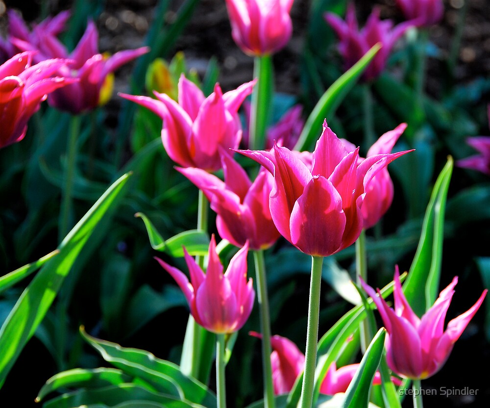 Pointed Purple Tulips by stephen Spindler