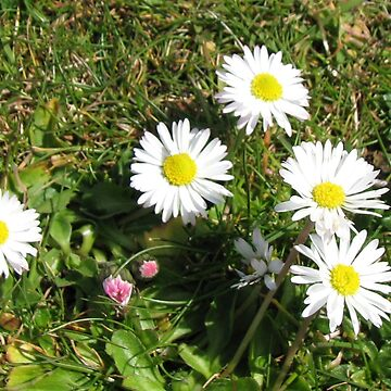 Cluster of Daisies - Western Isles by BlueMoonRose