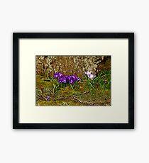 Purple Crocus In The Moss Framed Print