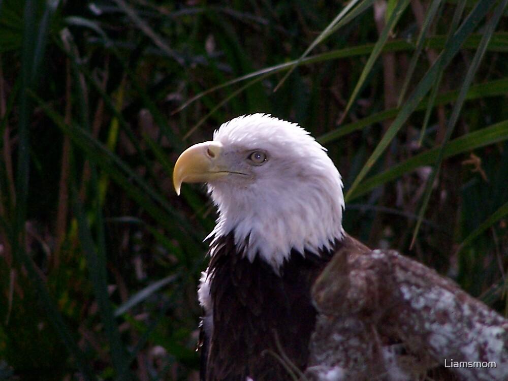 Eagle by Liamsmom