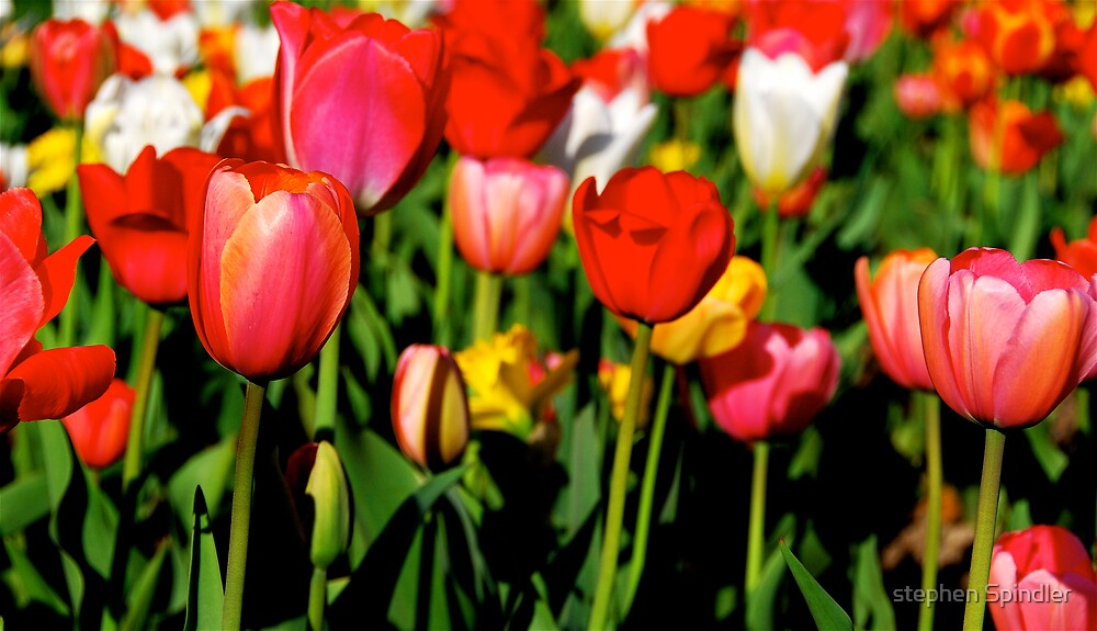 Red Tulips by stephen Spindler