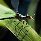 Mosquito Lunch by Tony Steinberg