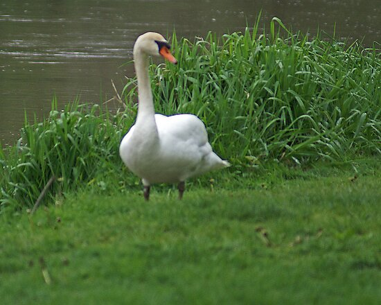 swan by terdawg