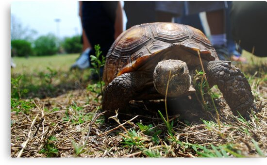 Tortoise by Jennifer Suttle