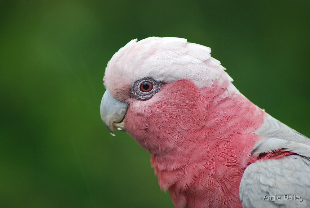 Galah by Angie  Bailey