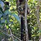 Lumholtz Tree Kangarro by triciaoshea