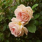 Spring Roses 1 by indrora