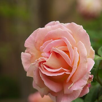 Spring Roses 2 by indrora