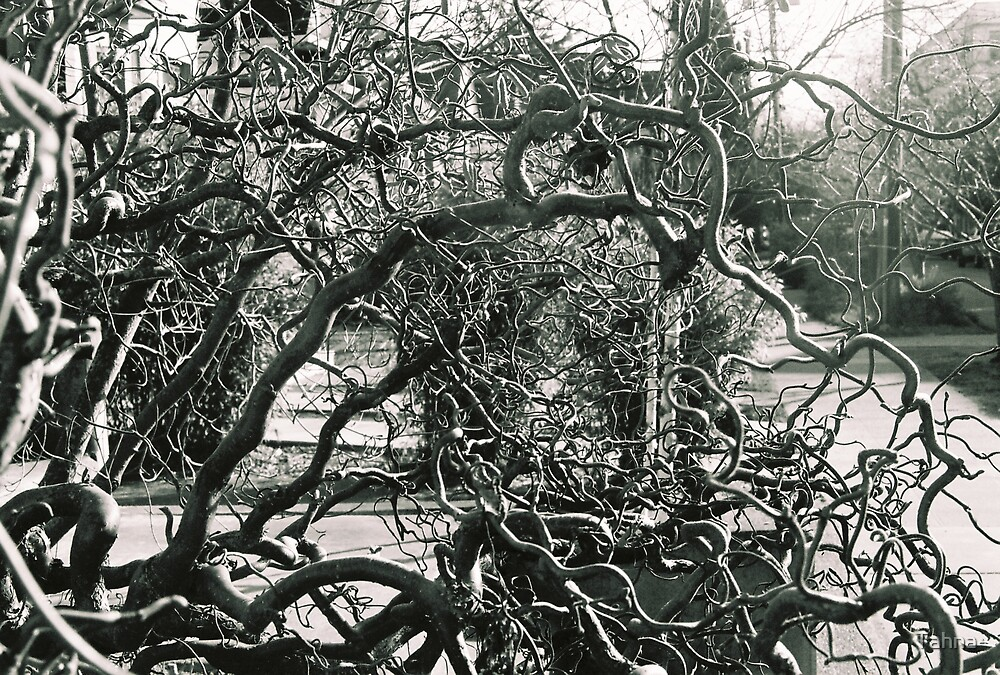 Twisted Fig Tree by Tahna