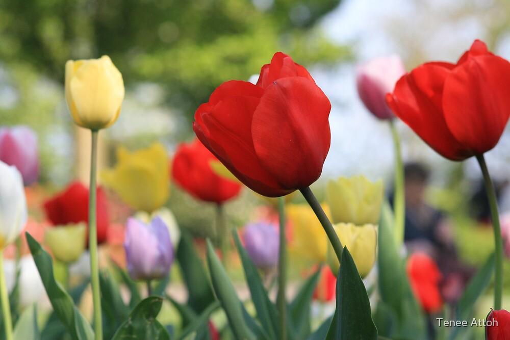 Tulips of keukenhof Holland by Tenee Attoh