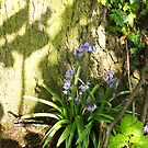 Bluebells and Shadows by ssalt
