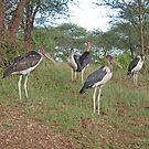 The Marabou Gang, Serengeti National Park, Tanzania by Adrian Paul
