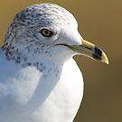 Seagull by Dana Yoachum