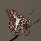 White-barred Charaxes by Macky