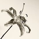 Mono Lily by mausue