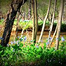 Bluebells on Bull Run by Cecilia Carr