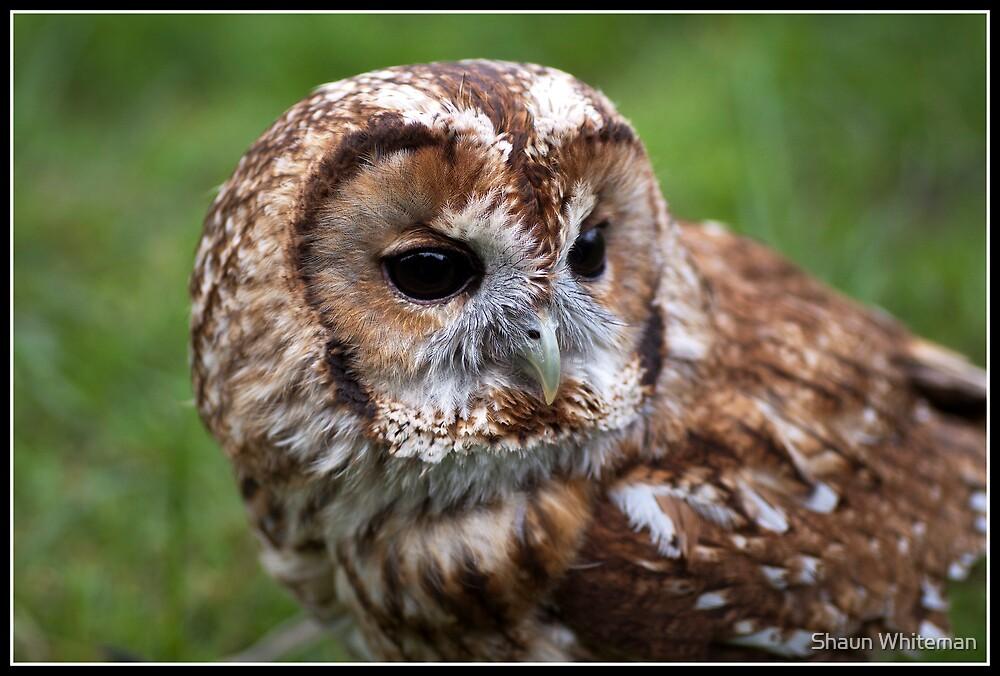Tawny Owl by Shaun Whiteman