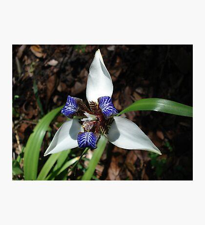 Walking Iris Photographic Print