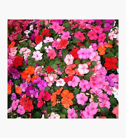Impatiens Photographic Print