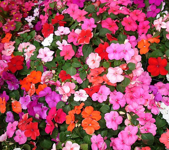 Impatiens by May Lattanzio