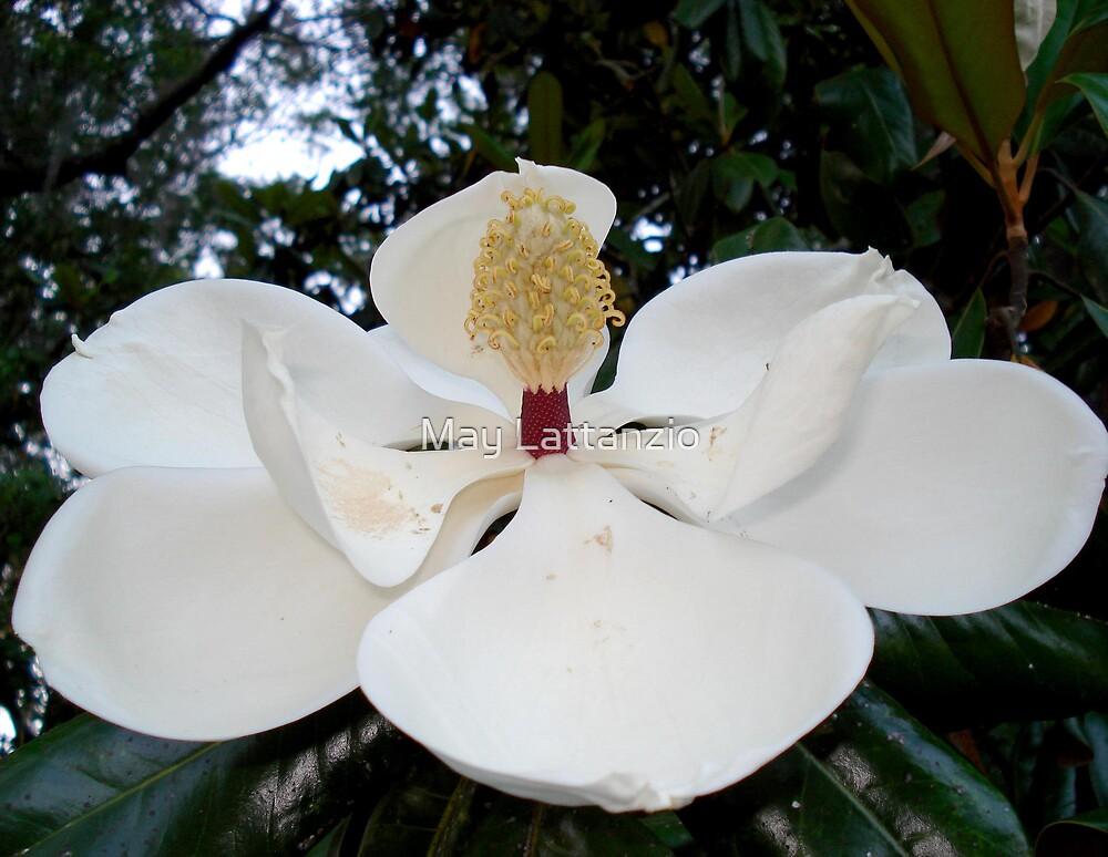 Magnolia Angel by May Lattanzio