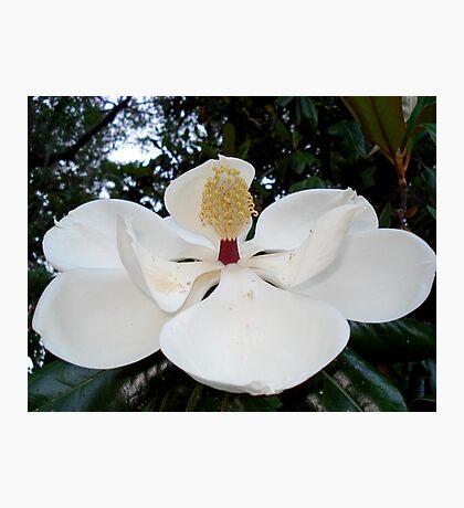 Magnolia Angel Photographic Print