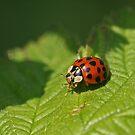 """Ladybird """"Not"""" by Robert Abraham"""