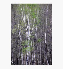Young Birch Photographic Print