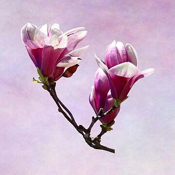 Delicate Magnolias by SudaP0408