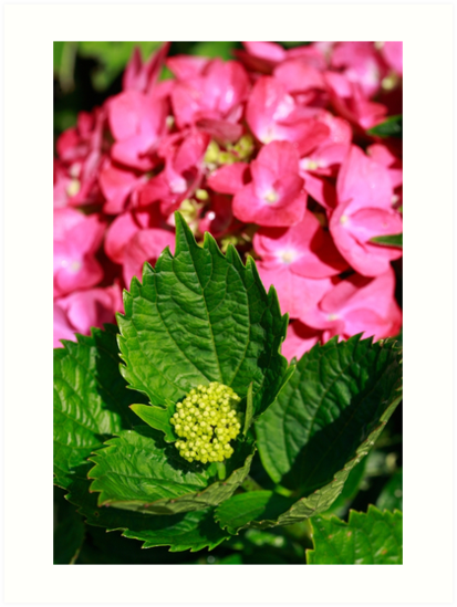 Pink hydrangea by Gaspar Avila
