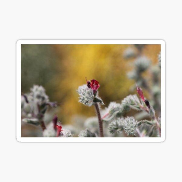 Echium Angustifolium Sticker