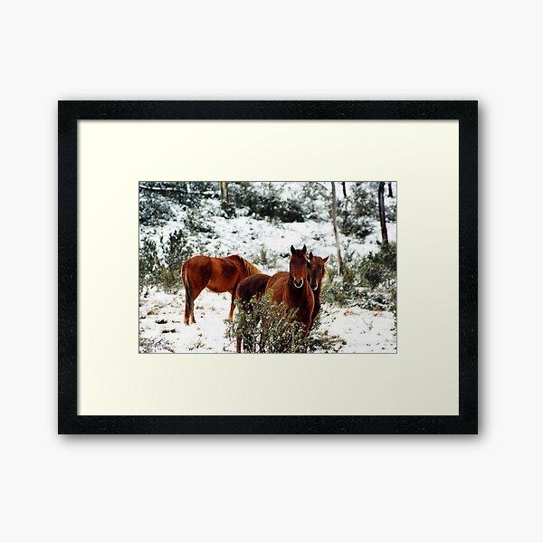 Brumby Stare Framed Art Print