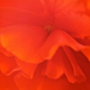 Red Begonia by Shulie1