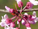 Flowering Redbud with Ladybug by FrankieCat