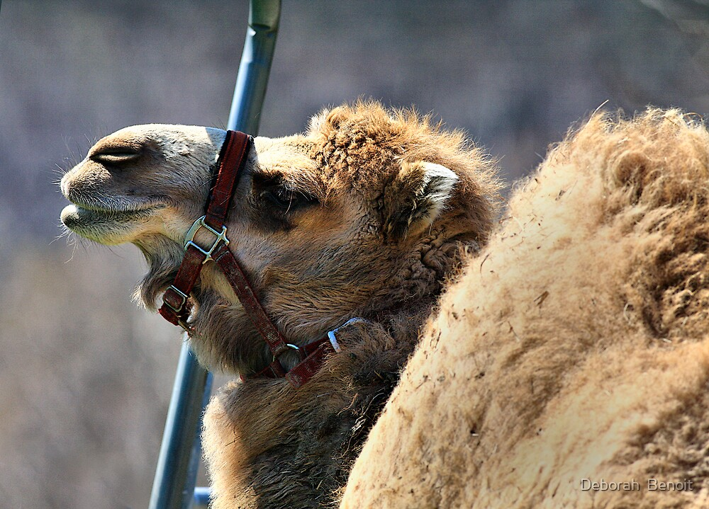 Camel Vermont by Deborah  Benoit